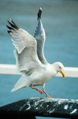 Seagull problem in Cornwall